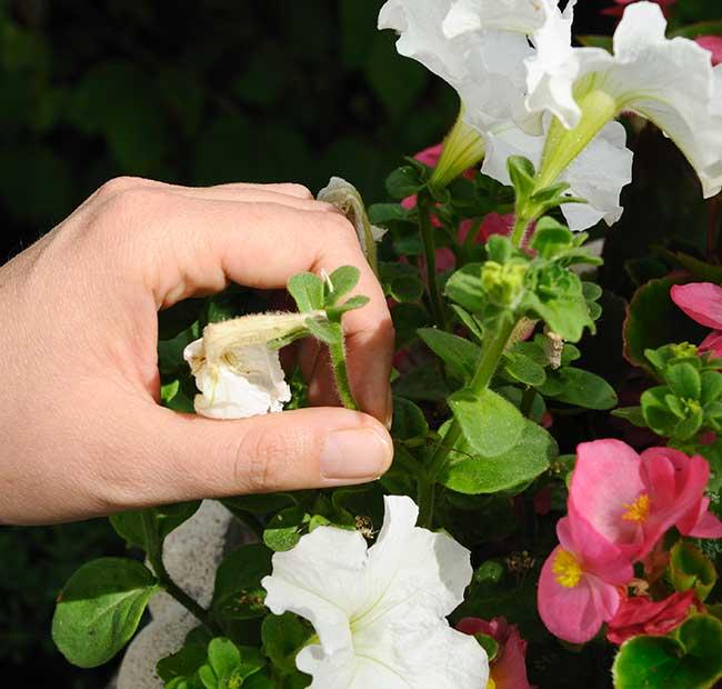 cimatura fiori