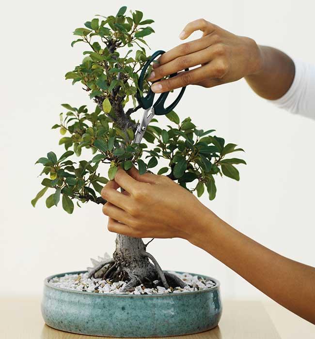 cimatura bonsai