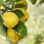 Mele cotogne | Coltivazione del cotogno e confettura
