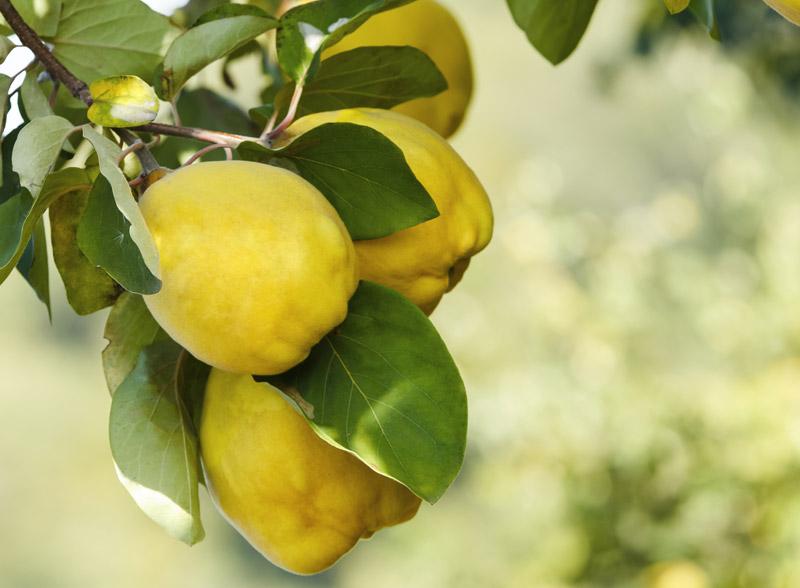 Mele cotogne coltivazione del cotogno e confettura fai - Mele fuji coltivazione ...