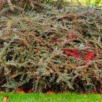 Cotoneaster | Impianto, potatura e cure