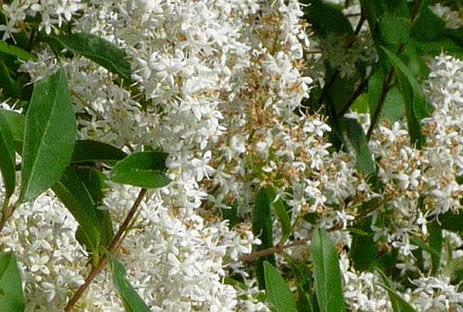 fiori di ligustro