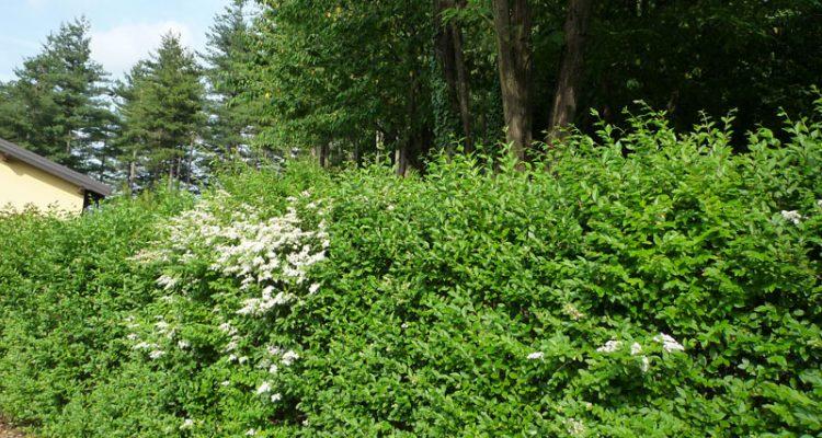 Ligustro impianto potatura e cure fai da te in giardino for Cespugli giardino