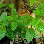 Menta | Piperita, mentuccia,romana: adatta a ogni giardino
