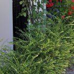 Mirto pianta   Impianto, potatura e cure