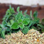 Origano | Pianta erbacea aromatica