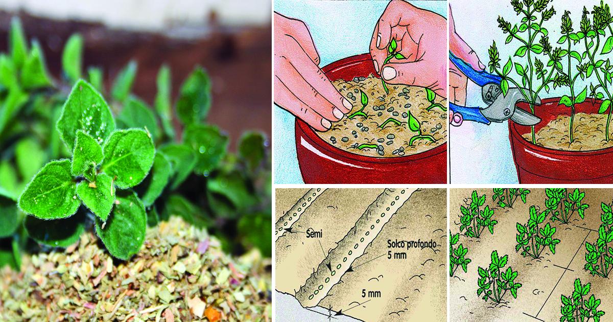 Origano pianta erbacea aromatica fai da te in giardino for I fiori della balsamina