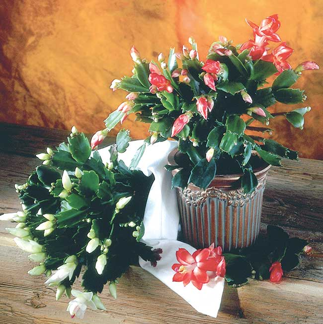 Piante grasse con fiori  Coltivazione, rinvaso e talea - Fai da te in giardino