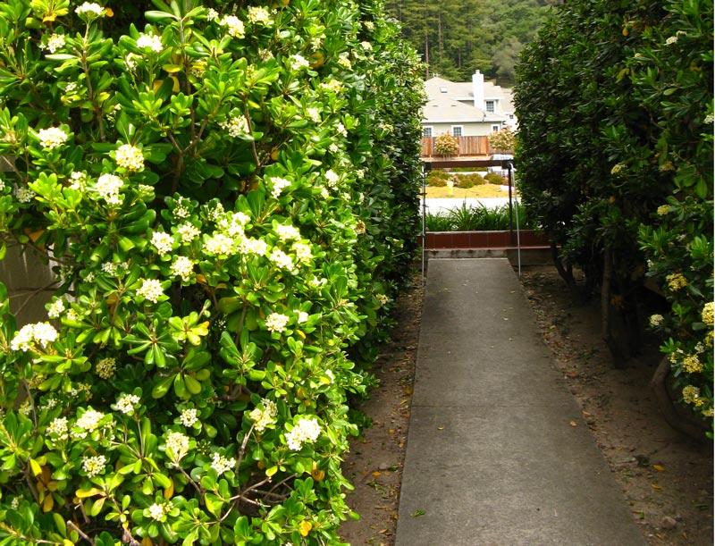 Pitosforo coltivazione e cure fai da te in giardino for Pitosforo siepe