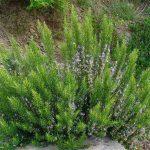 Rosmarino | Pianta perenne aromatica