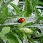 Salvia | Pianta aromatica in vaso o giardino
