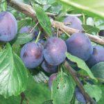 Susino | Coltivazione, varietà, potatura e marmellata