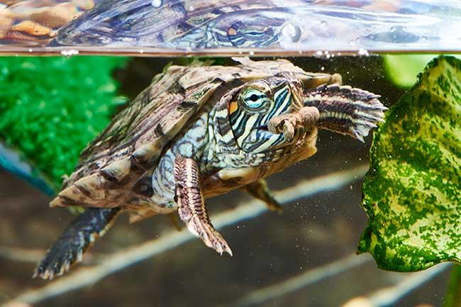 Tartarughe d 39 acqua dolce guida alle specie habitat for Mangime tartarughe acqua