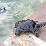 Tartarughe d'acqua dolce | Specie, habitat, cure e riproduzione
