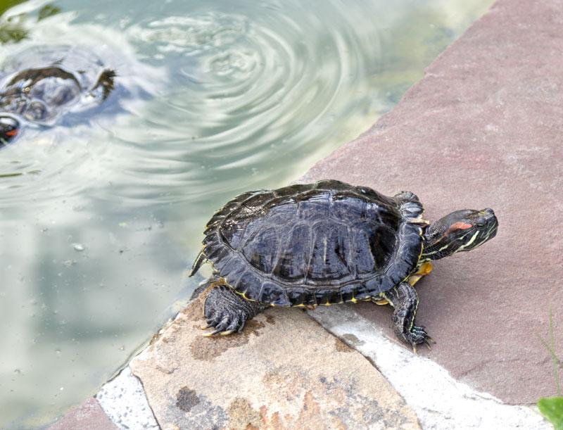 Tartarughe d 39 acqua dolce guida alle specie habitat for Filtro acqua tartarughe