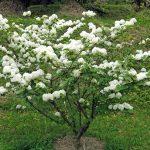 Viburno | Coltivazione, cure e moltiplicazione per talea