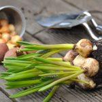 Bulbi da piantare in autunno | Quali scegliere e come fare