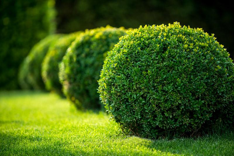 Bosso impianto potatura e cure fai da te in giardino for Potatura piante da giardino