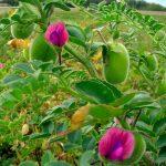 Ceci | Coltivazione, semina, concimazione e cure
