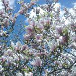 Magnolia | Coltivazione, varietà e propaggine