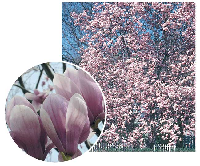magnolia soulangea