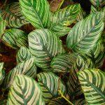 Maranta | Come coltivarla e curarla
