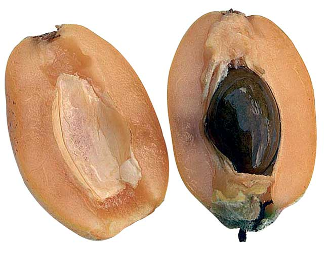 frutti nespolo giappone