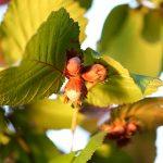 Nocciolo | Coltivazione, potatura e cure