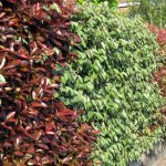 Photinia | Impianto, potatura e cure
