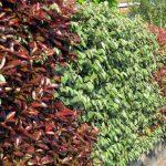 Photinia | Impianto, potatura e cure