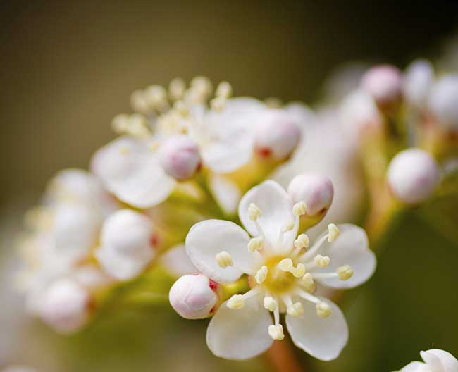 fiore photinia