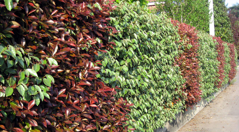 Photinia impianto potatura e cure fai da te in giardino for Piante da giardino alte 2 metri