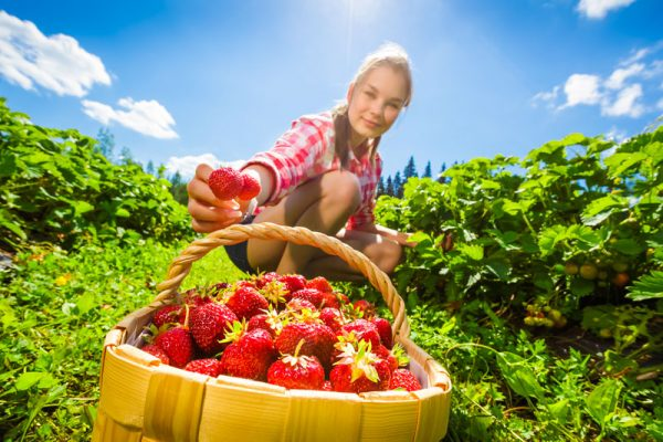 riproduzione fragole