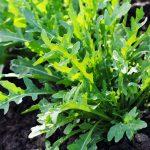 Rucola | Semina, raccolta e ricette