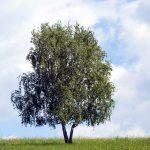 Betulla | Coltivazione, proprietà e controindicazioni