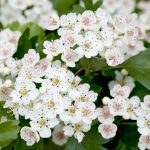 Biancospino | Coltivazione e potatura a siepe