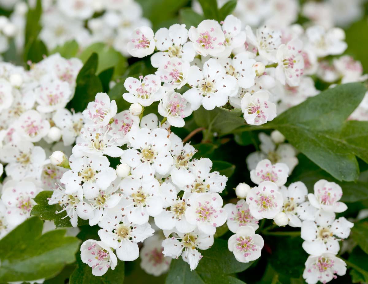 Siepi Da Giardino Prezzi : Biancospino coltivazione e potatura a siepe fai da te in giardino