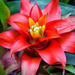 Bromelia pianta | Come si cura