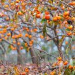 Cachi | Coltivazione, potatura e maturazione dei frutti