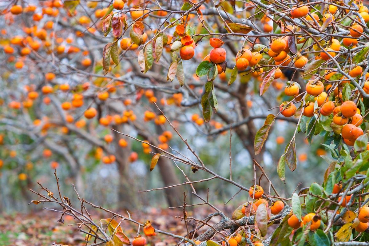 Cachi coltivazione potatura e maturazione dei frutti for Cachi persimon