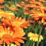 Calendula | Dalla struttura alla pomata: la coltivazione