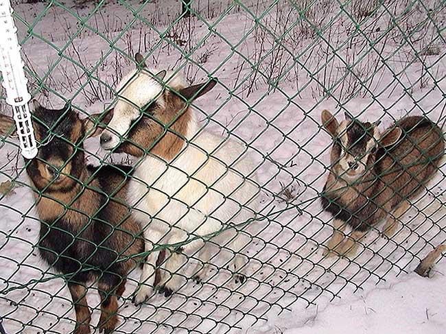 allevamento caprette tibetane