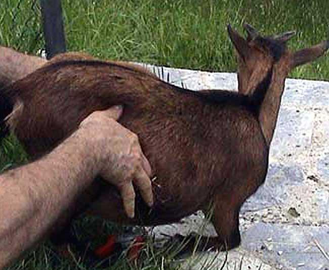 malattie caprette tibetane