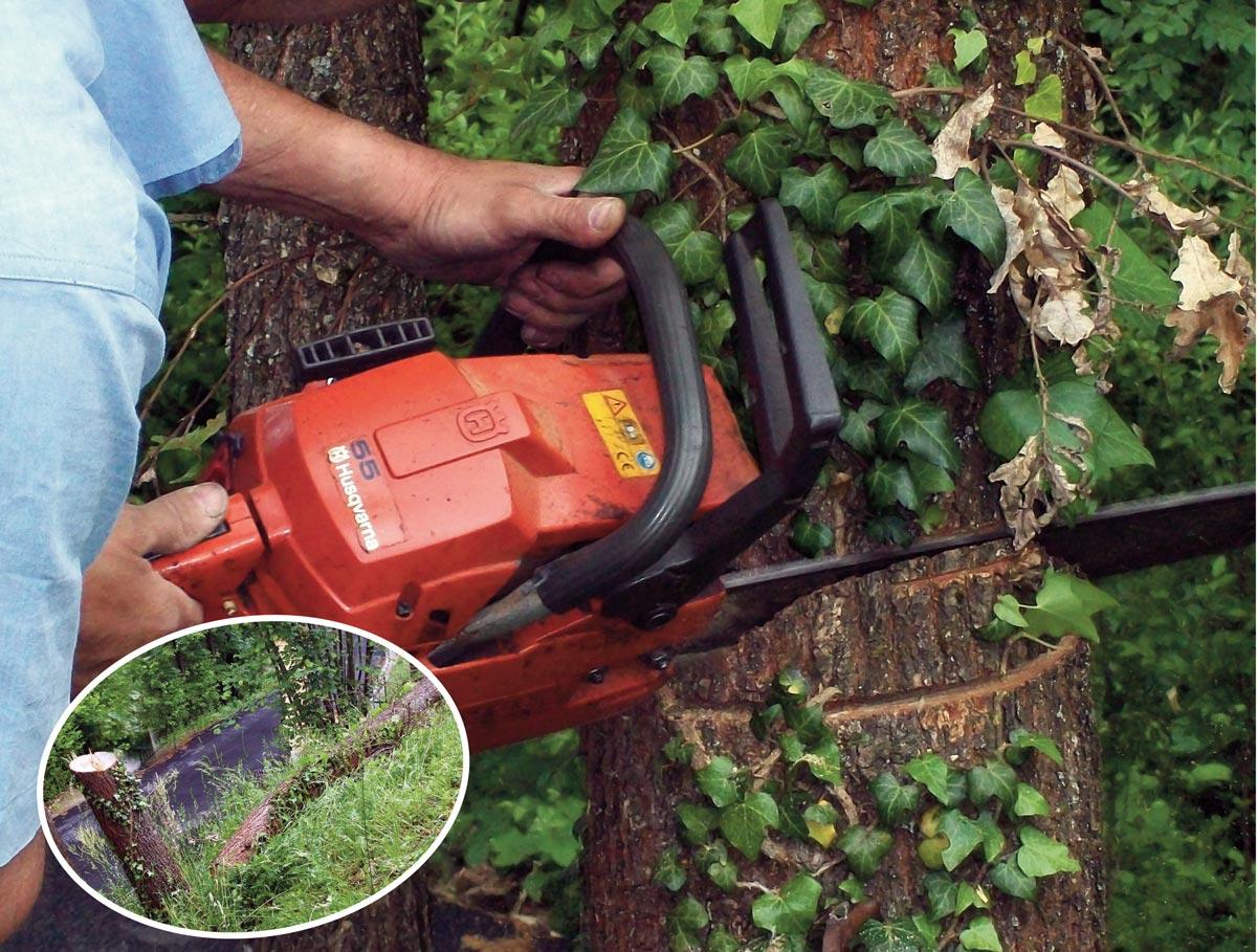 Alberelli Ornamentali Da Giardino come abbattere un albero | la tecnica passo a passo