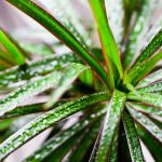 Dracena marginata | Cure e riproduzione