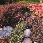 Erica | La pianta e la sua coltivazione