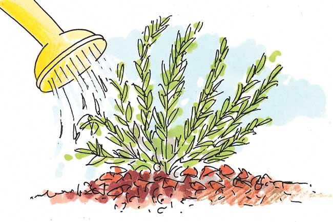 coltivazione erica