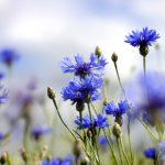Fiordaliso | Coltivazione, cure e fioritura