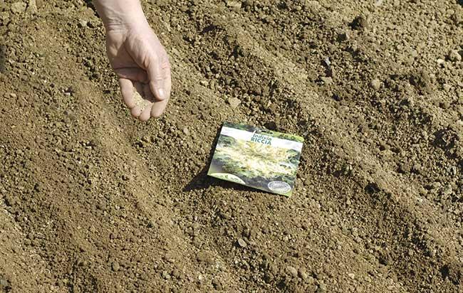 coltivare invidia riccia da taglio