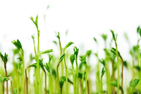 lenticchie pianta